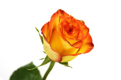 An orange red rose Stock Images