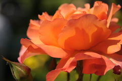 Orange red rose blossom. Open orange red rose blossom and closed rose bud in soft sunlight royalty free stock photo