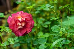 1 orange-red rose on blurry green garden background with placeholder. Single orange-red rose on blurry green garden background with placeholder stock photos