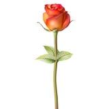 Orange red Rose. EPS 10 Stock Photography
