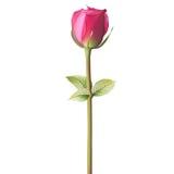 Orange red Rose. EPS 10 Royalty Free Stock Photography