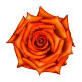 Orange red Rose Flower isolated on white Stock Photography