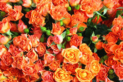 Orange and red roses background Royalty Free Stock Images