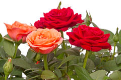 Orange and red roses on white Stock Photos
