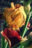 Orange red Royal iris closeup Stock Photo