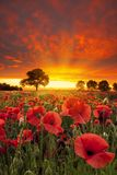 Orange and red skies over a poppy field Stock Photo