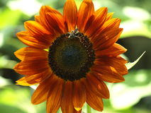 Bee on red sunflower Stock Image