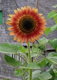 Orange-red sunflower. A orange-red sunflower in front of a slate coverd old house royalty free stock photos