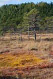 Orange red swamp and pine tree Stock Photo