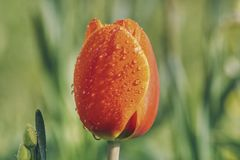 Orange-red tulip with drops of water stock photos