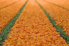 Orange Red Tulip Field Stock Photo