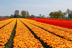 Orange and red tulip field near village of Lisse, the Netherlands Royalty Free Stock Images