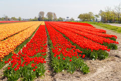 Orange and red tulip fields near village of Lisse in the Netherlands Royalty Free Stock Photos