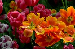 Orange and red tulip lilies in various stages of bloom Stock Photos