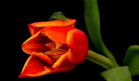 Orange red Tulip Royalty Free Stock Images