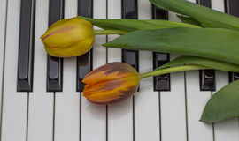 Orange and red tulip on a piano Stock Photo