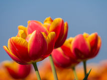 Orange and red tulips and blue sky Stock Photo