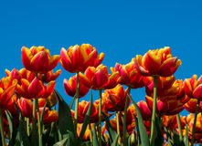 Orange and red tulips and blue sky Stock Photography