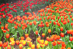 Orange and Red Tulips. In Botanic Garden Stock Photography