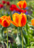 Orange red tulips on the field Stock Photography