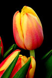 Orange and red Tulips Royalty Free Stock Image
