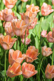 Orange-red tulips Stock Photos