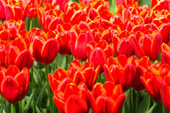 Orange-red tulips in spring. Field with Orange-red tulips in spring background Stock Images