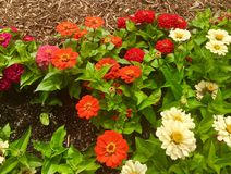 Orange, Red, and White Zinnias stock photos