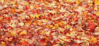 Orange red and yellow autumn leaves or warm fall colors royalty free stock image