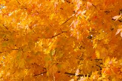 Orange red and yellow autumn leaves or warm fall colors Stock Image