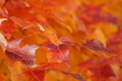 Orange red and yellow autumn leaves or warm fall colors royalty free stock photos