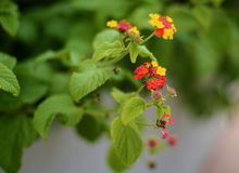Orange, red and yellow lantana flowers. Beautiful tiny red and orange and yellow flowers of lantana, blossoming in Greece, in the midst of green leaves, with Stock Image