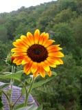 Orange-red, yellow sunflower, greenery background. A orange-red, yellow sunflower in front of greenery Stock Image