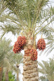 Orange, reddish brown and dark brown ripen dates. Dates are fruits that have been a staple food of the Middle East Royalty Free Stock Photo