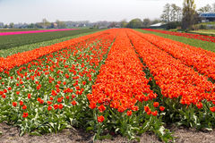 Orange and rede tulip field near village of Lisse in the Netherlands Stock Photography