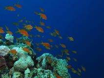 Orange reef fish. Group of sea goldies (orange anthiases) on a blue water background stock image
