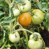 Orange reifende Tomate Lizenzfreies Stockfoto