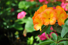 Orange Rhododendron blooming (Rhododendron scabrum) Royalty Free Stock Image