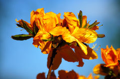 Orange rhododendron. Flowers by the one of the most beautiful woody plants of the heath family - rhododendrons Royalty Free Stock Photo