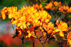 Orange rhododendron. Flowers by the one of the most beautiful woody plants of the heath family - rhododendrons Stock Photography