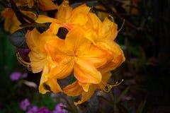 Orange Rhododendronnahaufnahme auf einem unscharfen Hintergrund Lizenzfreie Stockfotografie
