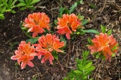Orange rhododendrons Stock Photos