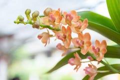 Orange Rhynchostylis gigantea Orchid. Beautiful Rhynchostylis gigantea in Thailand,Close up of beautiful orchid.,Rhynchostylis gigantea (Lindl.) Ridl Stock Images