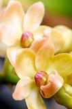 Orange Rhynchostylis. Stock Images