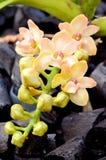 Orange Rhynchostylis. Royalty Free Stock Images