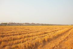 The orange rice rice field nearby house royalty free stock photography