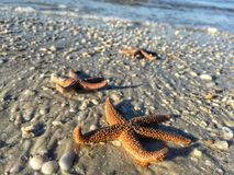 Orange Ridged Sea Stars Royalty Free Stock Photography