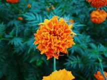 Orange ringblommablomma Royaltyfria Foton