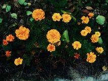 Orange ringblommor i höstblomsterrabatten arkivfoto