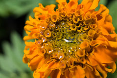 Orange Ringelblume Lizenzfreie Stockfotografie